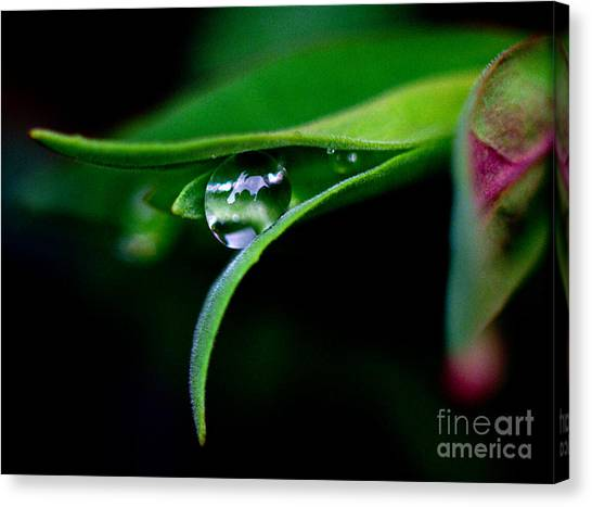 Jasper - Rain Drop Plant Canvas Print