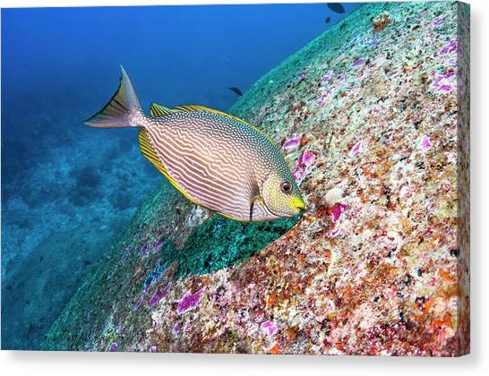 Java Rabbitfish Grazing On Algae Canvas Print by Georgette Douwma/science Photo Library