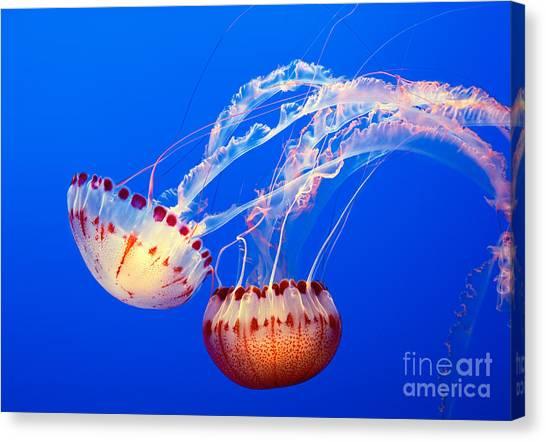 Fish Canvas Print - Jelly Dance - Large Jellyfish Atlantic Sea Nettle Chrysaora Quinquecirrha. by Jamie Pham
