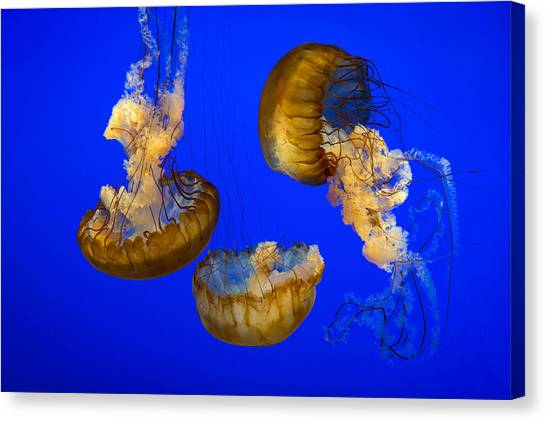 Ocean Life Canvas Print - Jellyfish Sea Nettle Marine Life - Ripleys Aquarium Gatlinburg Tn by Dave Allen