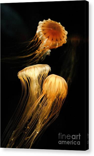 Jellyfish Trio Floating Against A Black Canvas Print