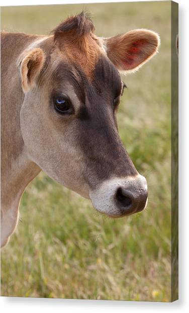 Jersey Cow Portrait Canvas Print