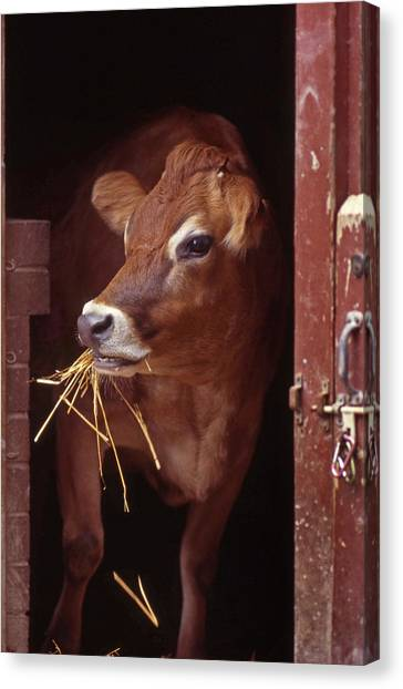 Jersey Cow Canvas Print
