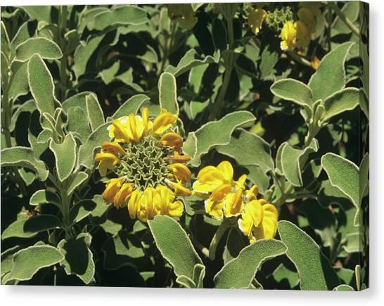 Jerusalem Sage (phlomis Fruticosa) Canvas Print by Sally Mccrae Kuyper/science Photo Library