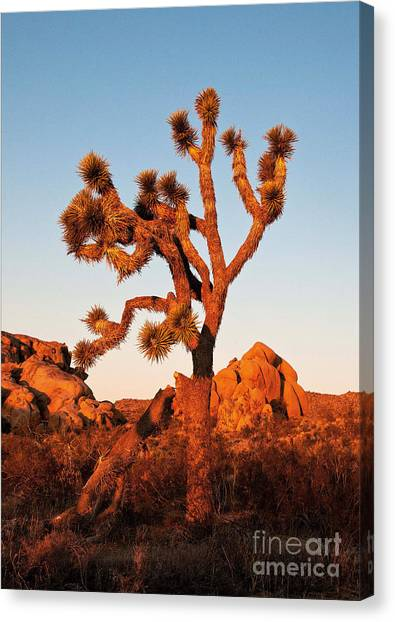 Canvas Print featuring the photograph Joshua Tree At Sunset by Mae Wertz