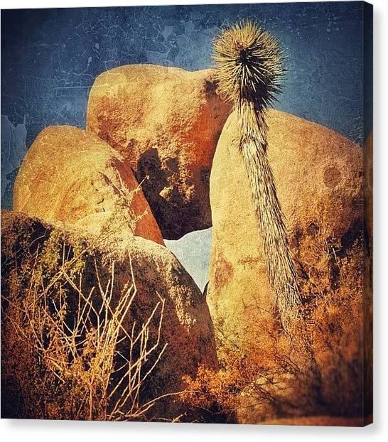 Sunny Canvas Print - Joshua Tree Np by Jill Battaglia