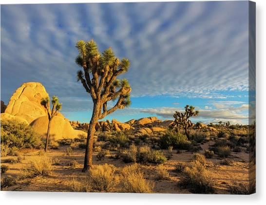 Mojave Desert Canvas Print - Joshua Trees In Sunset Light In Joshua by Chuck Haney