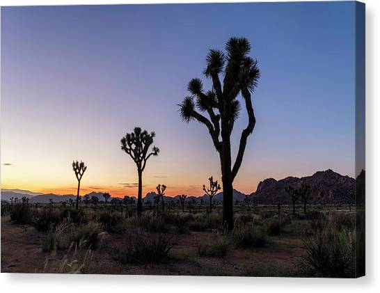 Joshua Trees (yucca Brevifolia) At Sunset Canvas Print by Michael Szoenyi