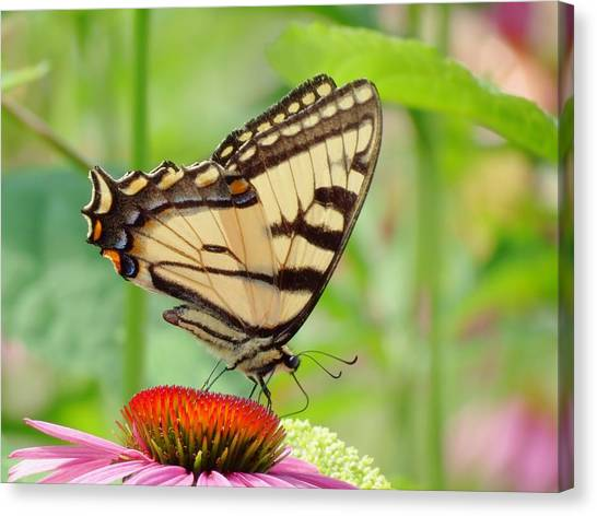 July Swallowtail Canvas Print