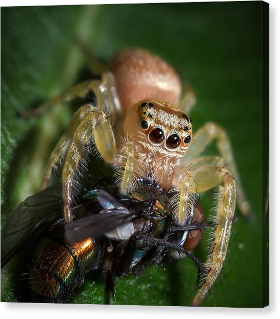 Jumping Spider 3 Canvas Print
