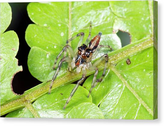 Ecuadorian Canvas Print - Jumping Spider by Dr Morley Read