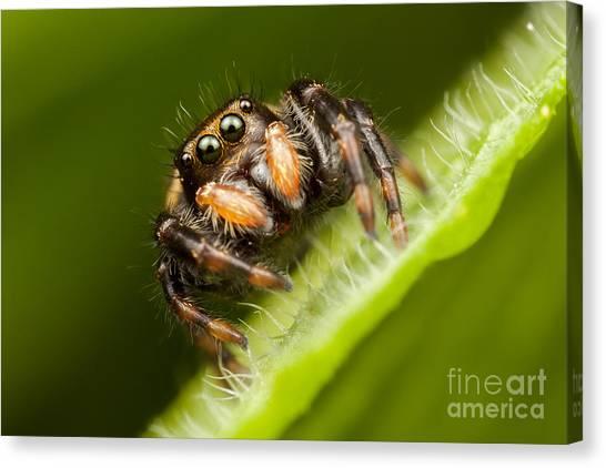 Jumping Spider Phidippus Clarus I Canvas Print