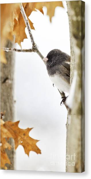 Junco And Oak Canvas Print