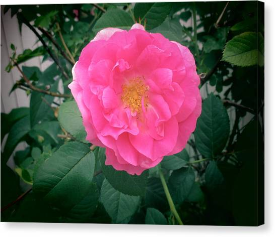 June Rose I Canvas Print