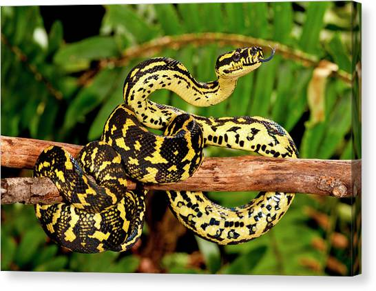 Pythons Canvas Print - Jungle Carpet Python, Morelia Spilotes by David Northcott