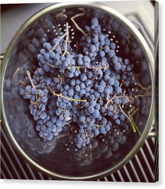 Grapes Canvas Print - Just A Few Of The Hundreds And Hundreds by Stone Grether