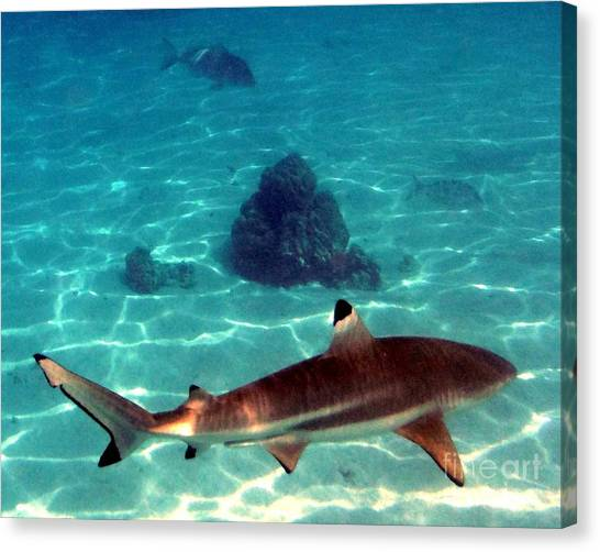 Black Tip Sharks Canvas Print - Just Call Me Tippy by Barbie Corbett-Newmin