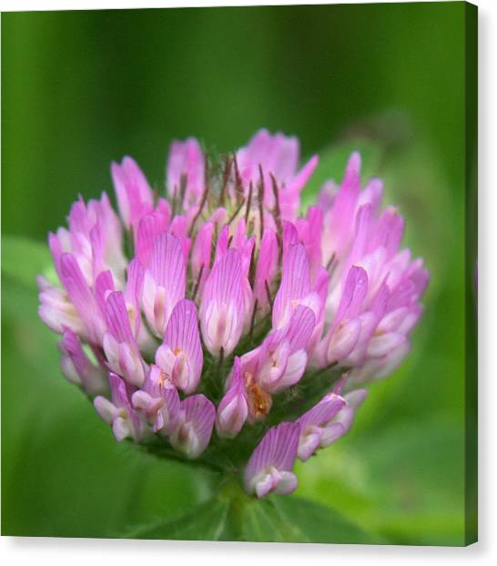 Just Clover Canvas Print