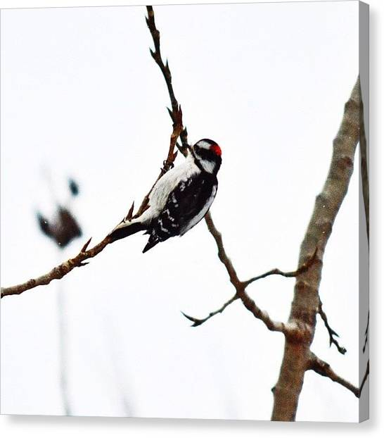 Woodpeckers Canvas Print - Just Couldn't Get Enough Of The by Tiffany Anthony
