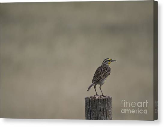 Western Meadowlark On A Fence Post Canvas Print
