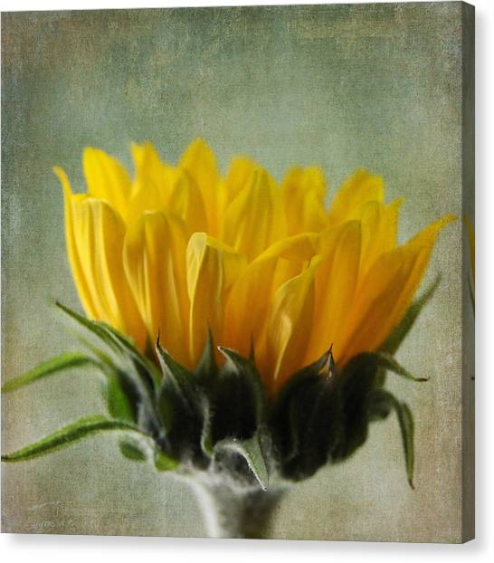 Just Opening Sunflower Canvas Print