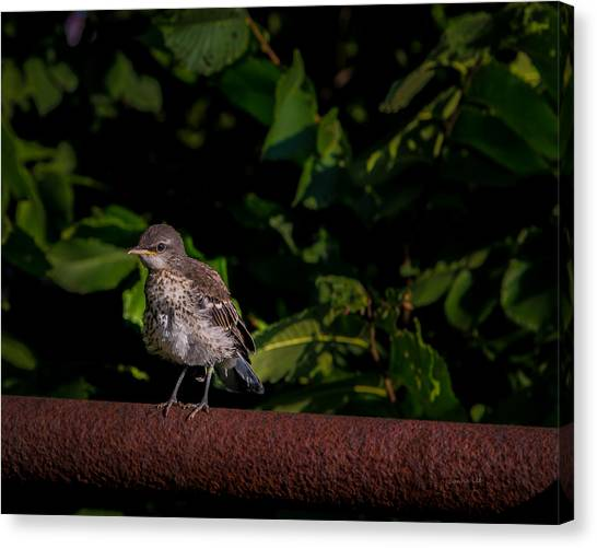 Just Out Of The Nest Canvas Print