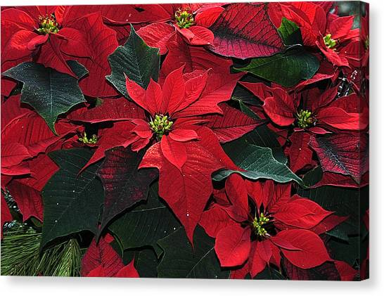 Just Poinsettia's Canvas Print