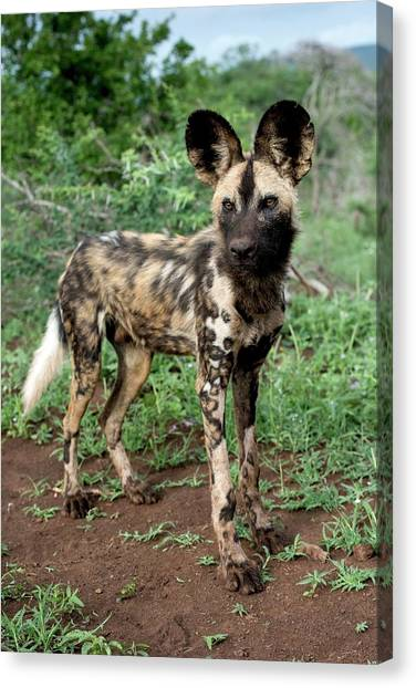 Juvenile African Hunting Dog Canvas Print by Tony Camacho/science Photo Library