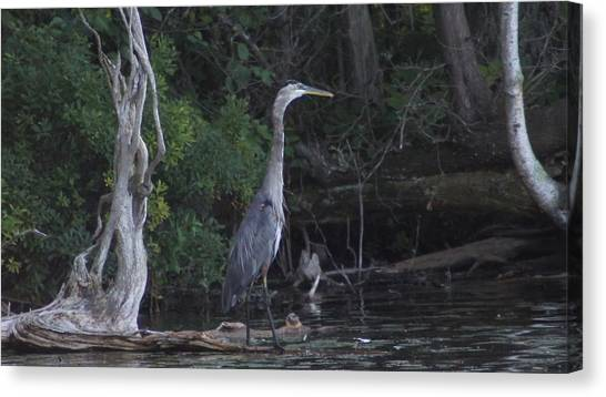 Juvenile Blue Heron At Manistee National Park Canvas Print by Rosemarie E Seppala