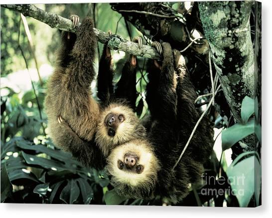 Monteverde Canvas Print - Juvenile Hoffmanns Two-toed Sloths by Gregory G. Dimijian, M.D.