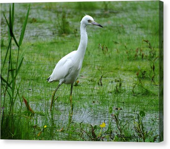 Juvenile Little Blue Heron In Search Of Food Canvas Print