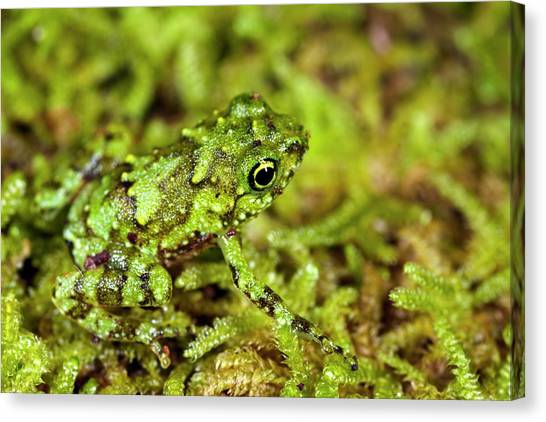 Tropical Rainforests Canvas Print - Juvenile Rot-hole Tree Frog by Alex Hyde
