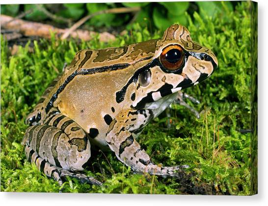 Amazon Canvas Print - Juvenile Smoky Jungle Frog by Dr Morley Read