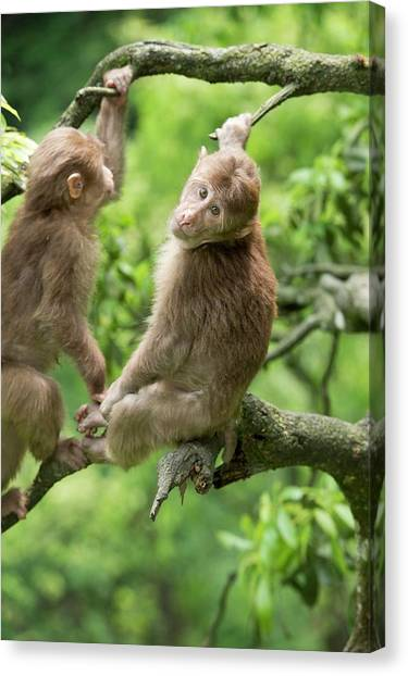 Omnivore Canvas Print - Juvenile Tibetan Macaques In A Tree by Tony Camacho