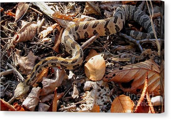 Timber Rattlesnakes Canvas Print - Juvenile Timber Rattlesnake by Joshua Bales