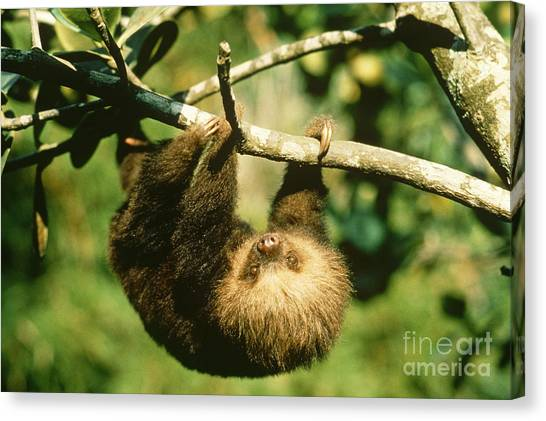 Monteverde Canvas Print - Juvenile Two-toed Sloth by Gregory G. Dimijian, M.D.