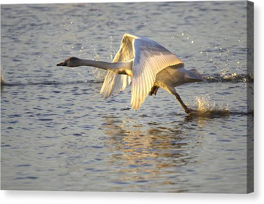 Juvenile Whooper Swan Taking Off Canvas Print