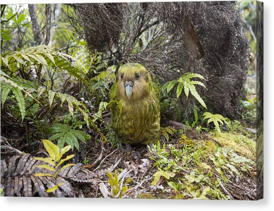 Canvas Print featuring the photograph Kakapo Male In Forest Codfish Island by Tui De Roy