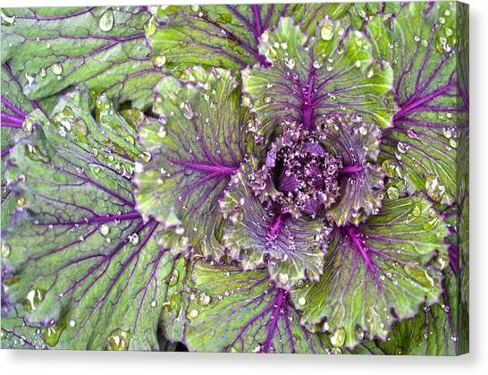Kale Plant In The Rain Canvas Print