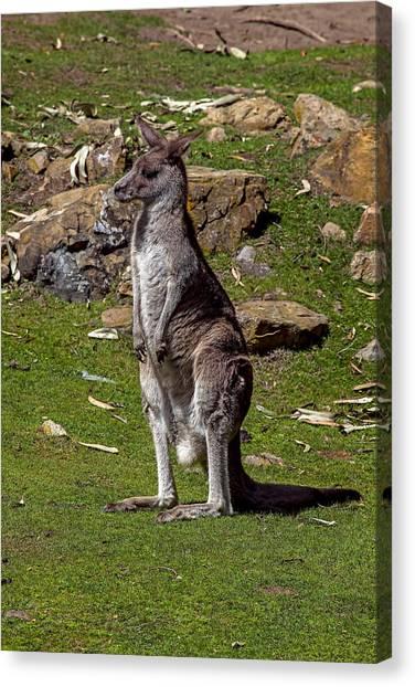 Kangaroo Canvas Print - Kangaroo by Garry Gay