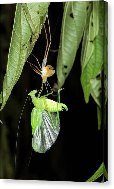 Crickets Canvas Print - Katydid Shedding Skin by Dr Morley Read
