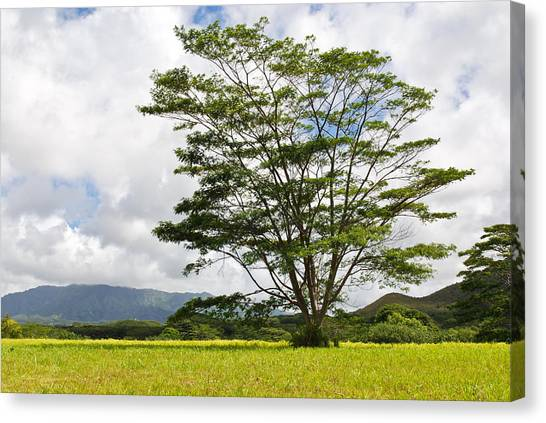 Kauai Umbrella Tree Canvas Print