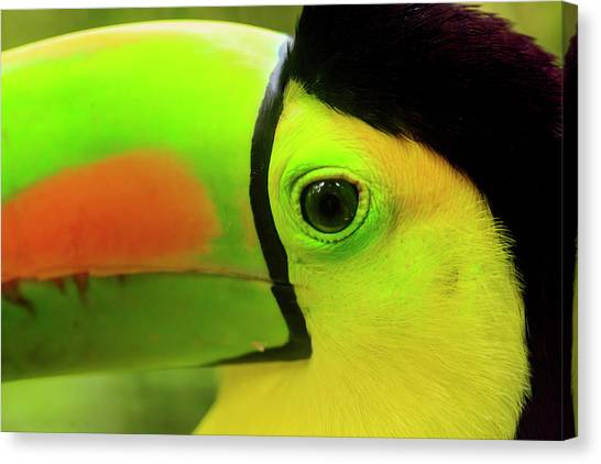 Belize Canvas Print - Keel-billed Toucan (ramphastos by Stuart Westmorland