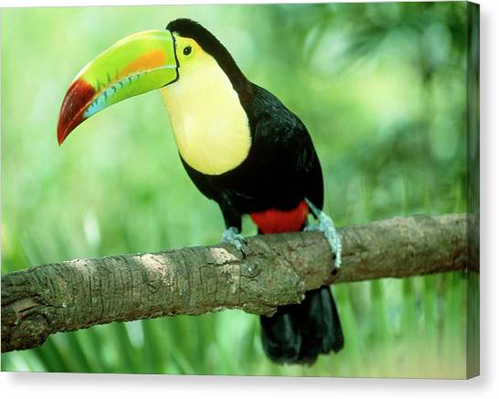 Toucans Canvas Print - Keel-billed Toucan (ramphastos Sulfuratus) In Tree by William Ervin/science Photo Library