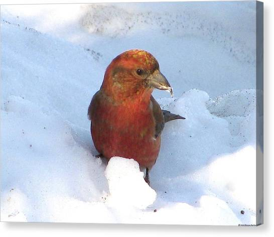Crossbills Canvas Print - Keeping Cool by Steven Parker