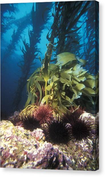 Kelp Forest Canvas Print - Kelp Forest Reef by Greg Ochocki