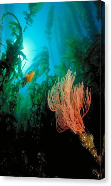 Kelp Forest Canvas Print - Kelp Forests Off The California Coast by Greg Ochocki