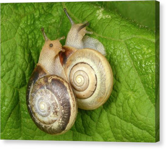 Animal Behaviour Canvas Print - Kentish Snails by Nigel Downer