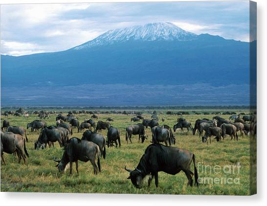 Kenyan Canvas Print - Kenya Mount Kilimanjaro Wildebeests Grazing by Anonymous