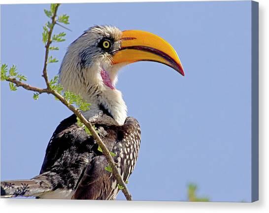 Hornbill Canvas Print - Kenya Profile Of Yellow-billed Hornbill by Jaynes Gallery
